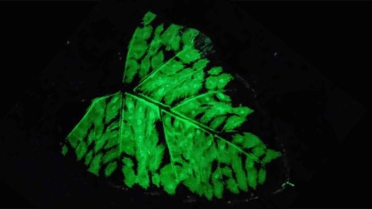 MIT Researchers Develop Glow-In-the-Dark Plants