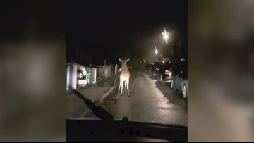 Deer In Headlights! Footage Shows Curious Unnerved Deer Walking Up To Car To Get A Closer Look!