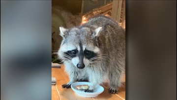 Rascally Raccoon Invades Restaurant in Russia!