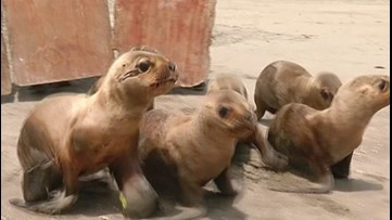 Watch the Moment Six Baby Sea Lions Are Released Back Into the Wild After Being Rescued
