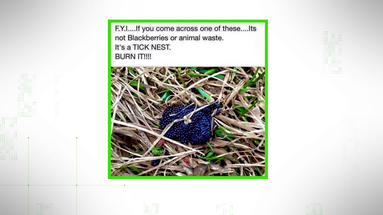 VERIFY: Are these really tick eggs?