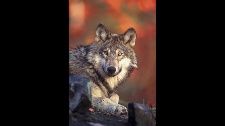A helicopter had to rescue a research student Thursday afternoon after a group of wolves surrounded her near a Washington campground.
