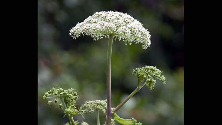 Lookout: Giant hogweed could be headed our way
