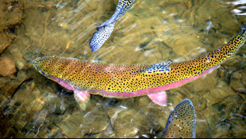 Prize money offered to thin South Fork rainbow trout
