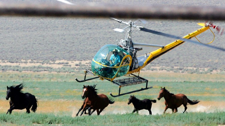 Hundreds of wild horses rounded up in Eastern Oregon