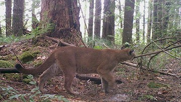 'Strong possibility' cougar killed was the one that attacked Oregon woman, official says