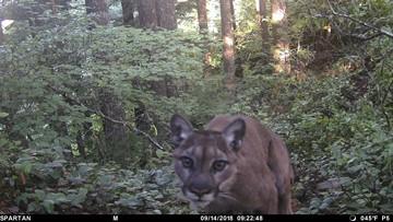 Oregon wildlife officials end search for killer cougar