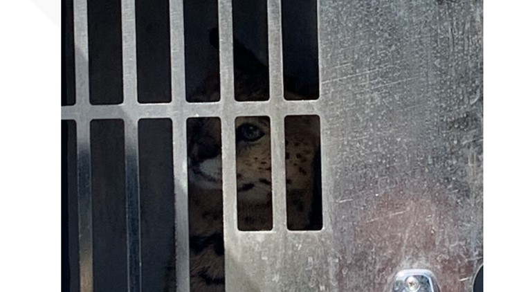 Firefighter injured after being bitten by African serval cat