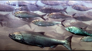 Power outage causes the death of 6.2 million chinook salmon fry in Washington