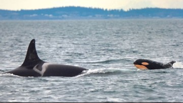 Whale researchers identify new orca calf swimming with local pod