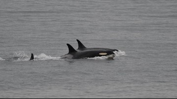 Orca mom lets go of dead calf after 17 days and 1,000 miles