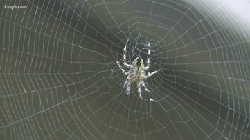 Spiders looking for love become more visible this time of year