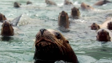 Several wildlife groups propose 'lethal' removal of sea lions preying on endangered salmon