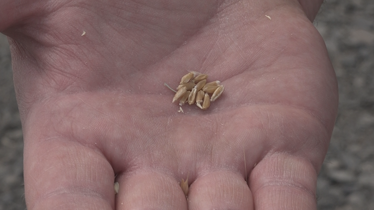 'Pray for rain': Pacific Northwest drought destroys wheat harvest