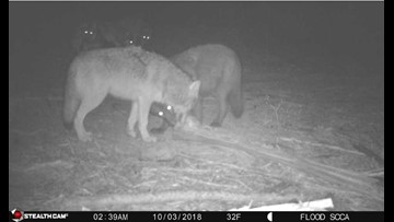 Eastern Wash. ranchers fed up with wolf attacks, demand state action