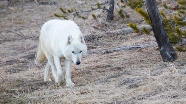 Fewer Yellowstone wolves equals no wolf-on-wolf deaths
