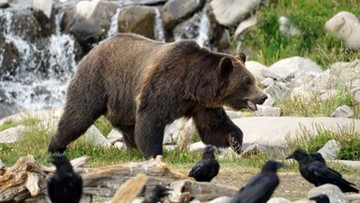 Idaho Fish and Game warns hunters to watch for grizzly bears
