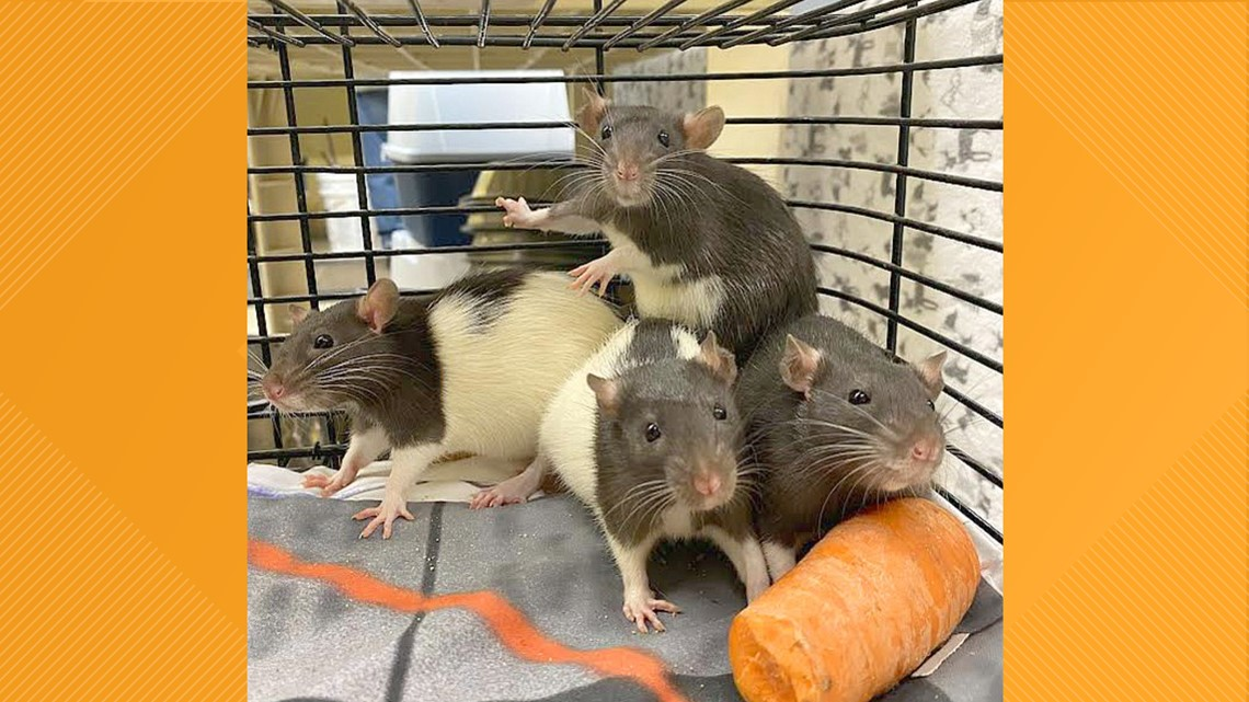 Rats found in Coeur d'Alene Library book drop-off are now in need of homes