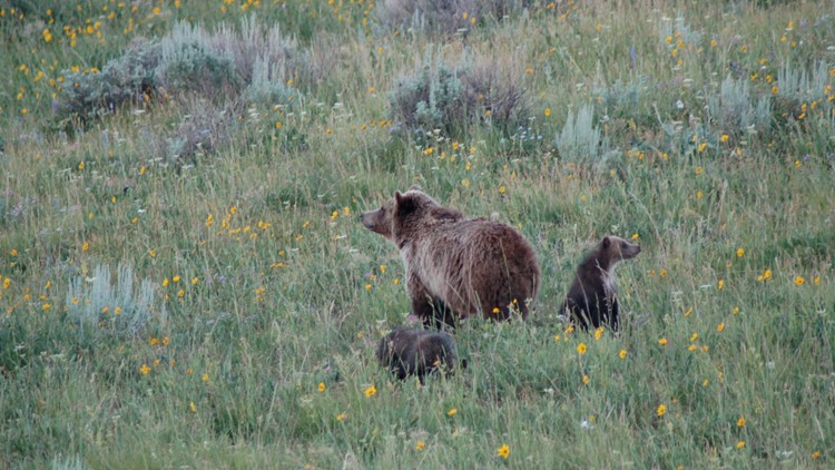 Woman gets jail time for Yellowstone grizzly close encounter