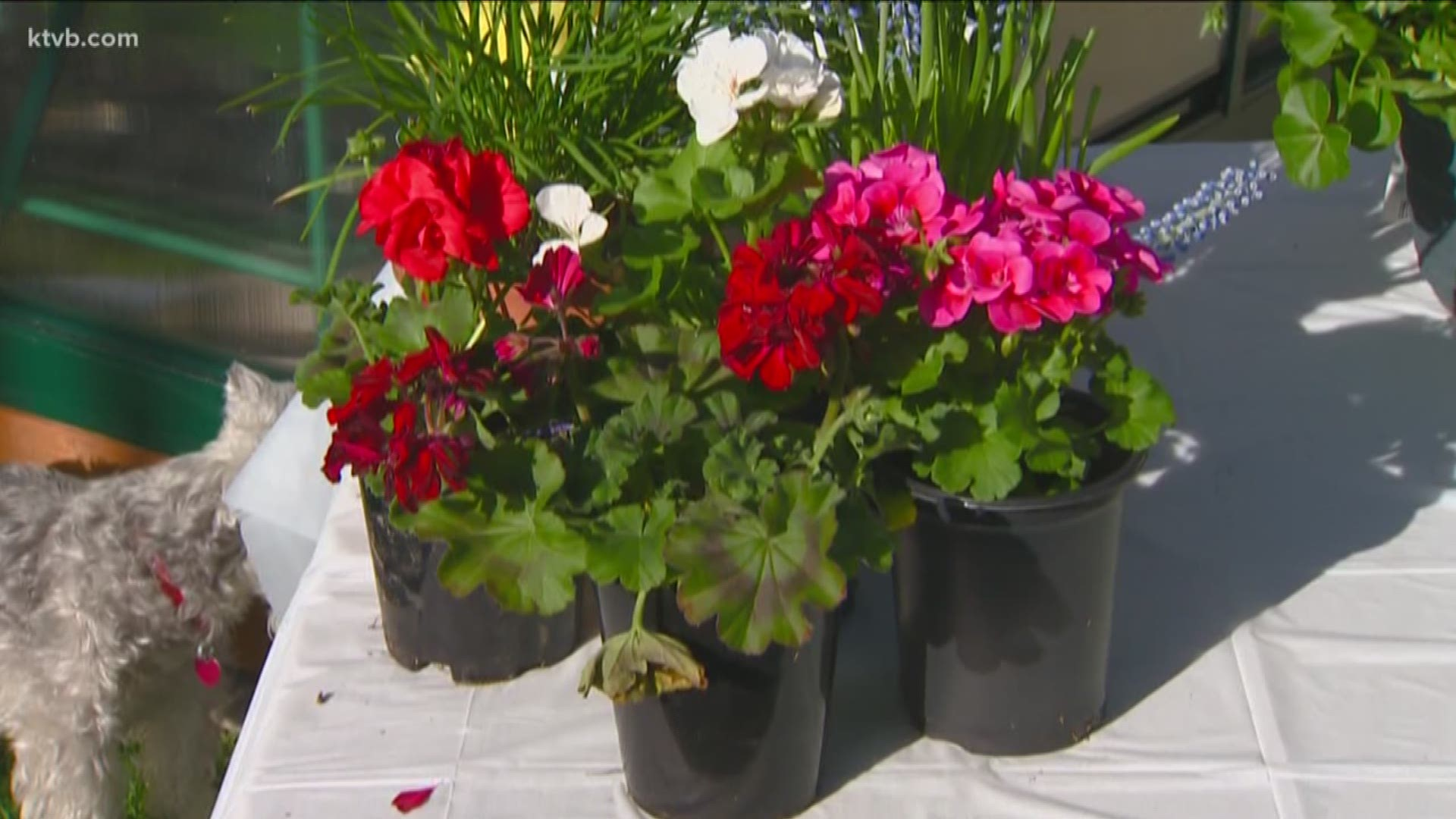 You Can Grow It Growing Beautiful Geraniums And Planting Dates