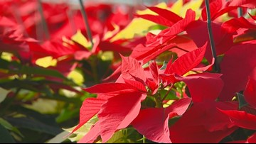 You Can Grow It: Tips to keep poinsettias red after the holidays