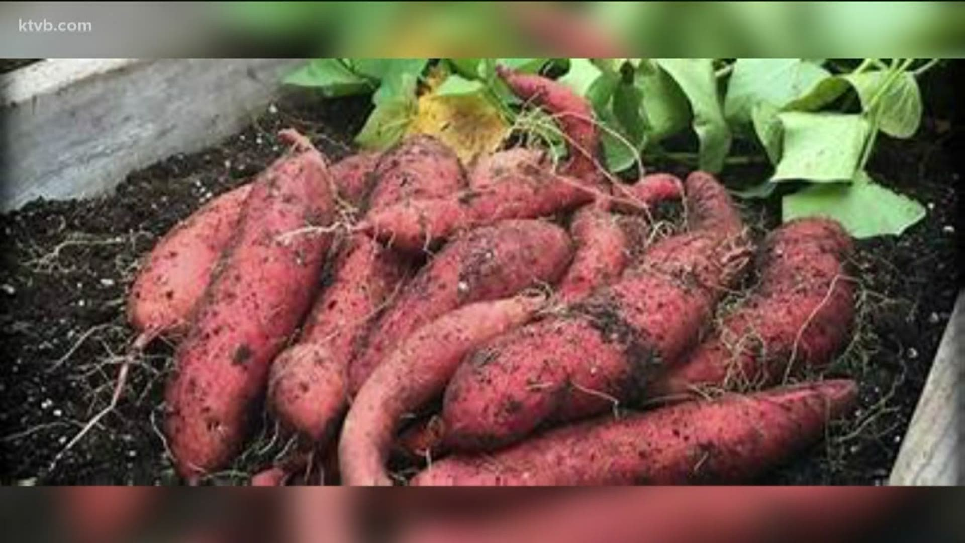 You Can Grow It Sweet Potatoes Are A Delicious Addition To Your Garden Ktvb Com