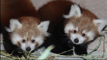 Zoo Boise reveals names of red panda cubs