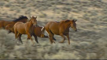 Agency OKs wild horse roundup in south-central Idaho