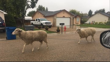 Lost sheep roaming the streets of Middleton