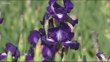 You Can Grow It: Check out JoAnn's Iris Garden in Eagle