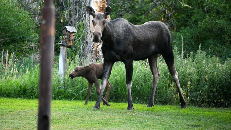 Moose and calf relocated after killing Hailey dog
