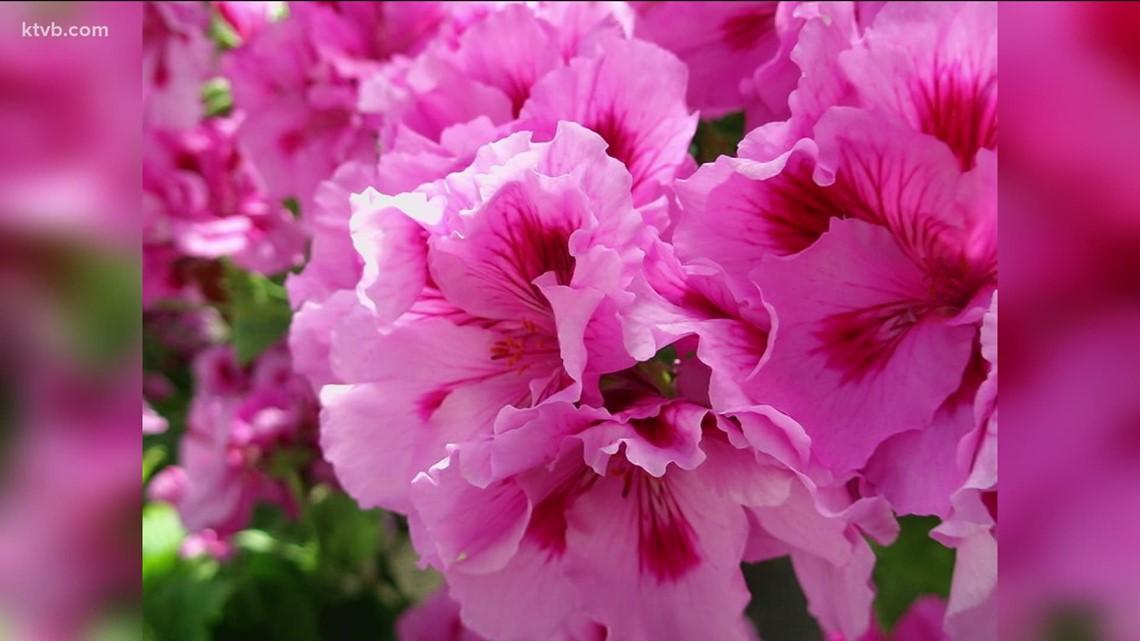 You Can Grow It: Beautiful geraniums
