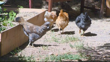 Salmonella cases in Idaho linked to backyard chickens