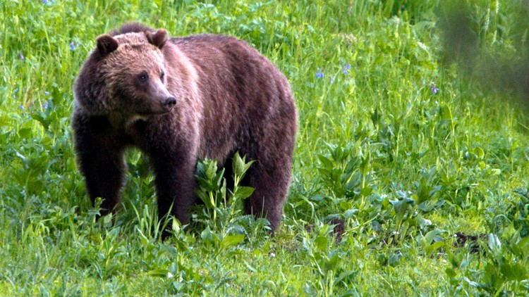 Woman faces charges in Yellowstone bear encounter