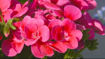 You Can Grow It: Growing beautiful geraniums and planting dates for your garden