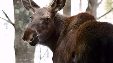 Moose poached in central Idaho, officials seeking culprit