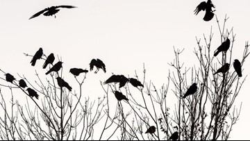 Nampa rethinks strategy to displace high crow populations