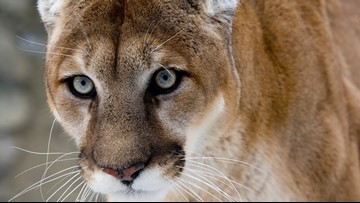 Social media did in Yellowstone mountain lion poachers