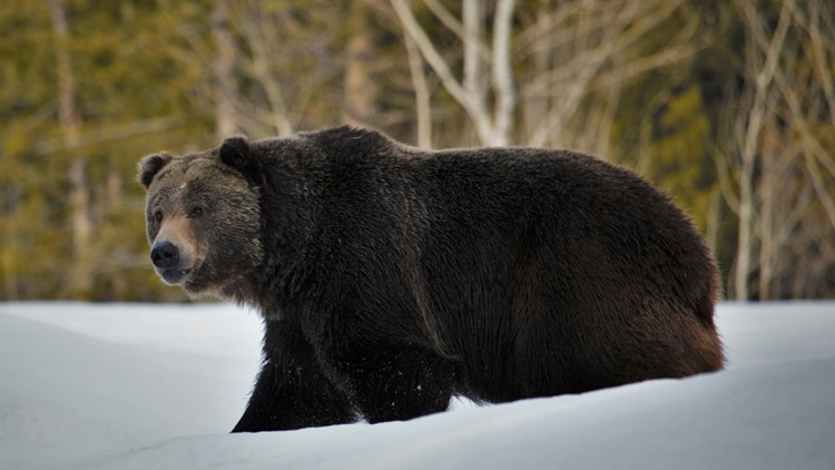 Scientists: Grizzlies expand turf but still need protection