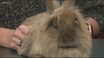 Stray No. 7: Tia, the Lionshead rabbit