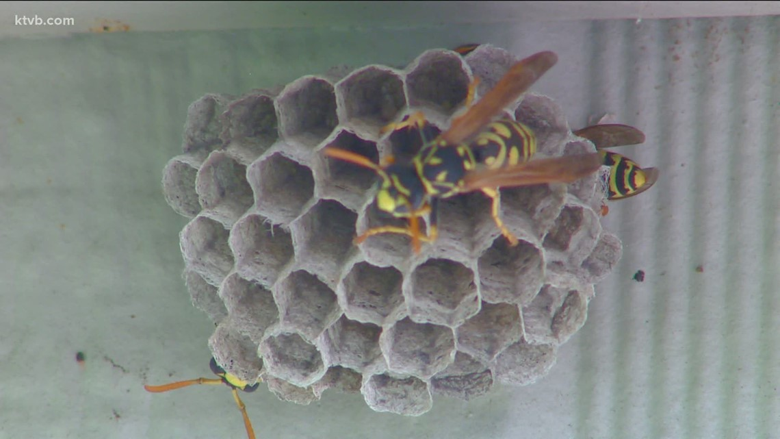 You Can Grow It: Ways to get rid of pesky wasps, hornets