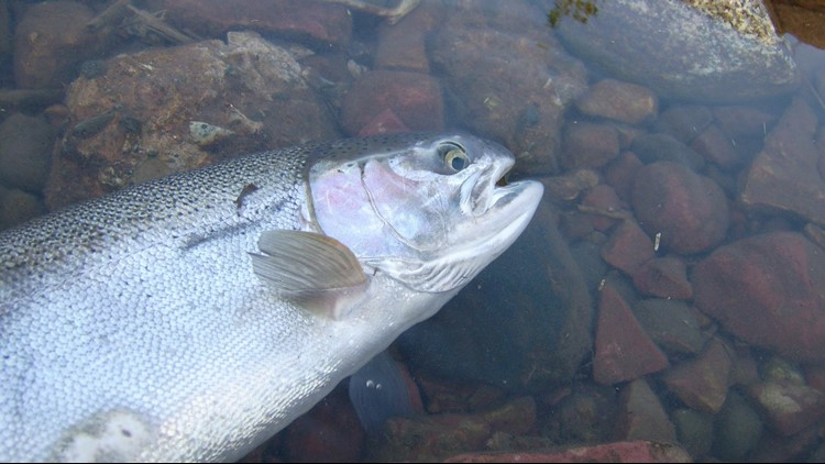 Environmental groups that want Idaho to close steelhead fishing to protect wild steelhead have filed a 60-day notice of intent to sue.