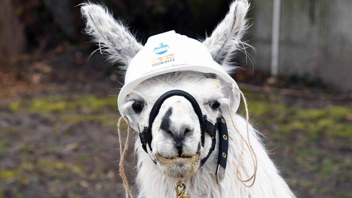 Dean the Llama, the last of Zoo Boise's 'Rat Pack', has died