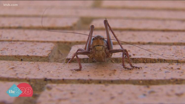 Why are Mormon crickets present in Southwestern Idaho?