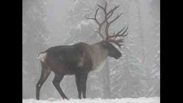 Lawsuit filed to restore mountain caribou