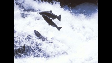 Official: Development of salmon-saving policies takes time