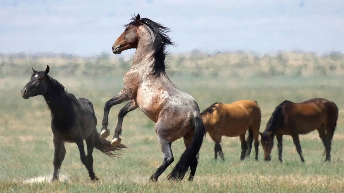 BLM releasing 11 wild horses near Glenns Ferry