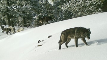 Report: Record number of wolves in Oregon