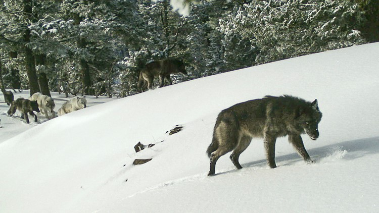 Bills to curb wolf numbers advance in Montana Legislature