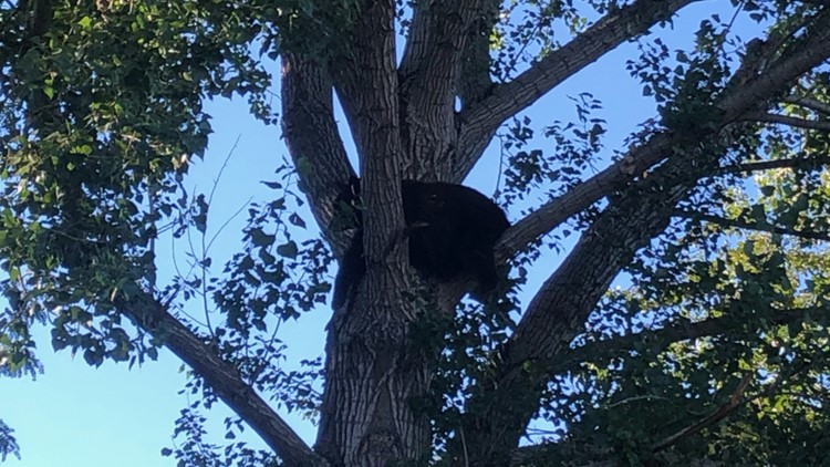 Idaho Fish and Game euthanizes bear spotted in north Boise neighborhood
